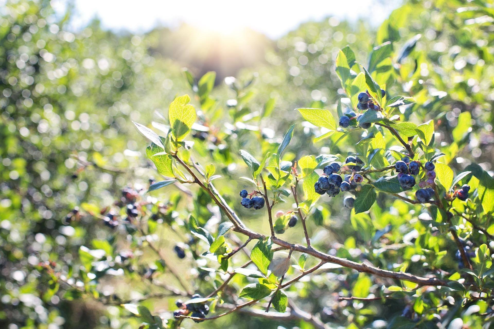 小藍莓濃縮汁