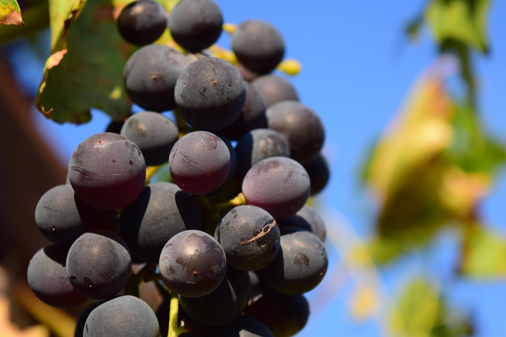 卡本內紅葡萄濃縮汁