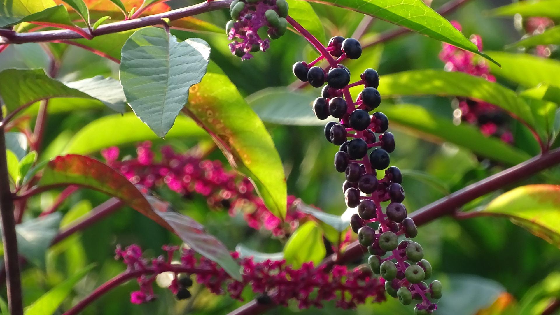 野櫻莓濃縮汁